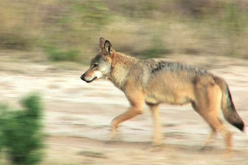 Hund oder Wolf?