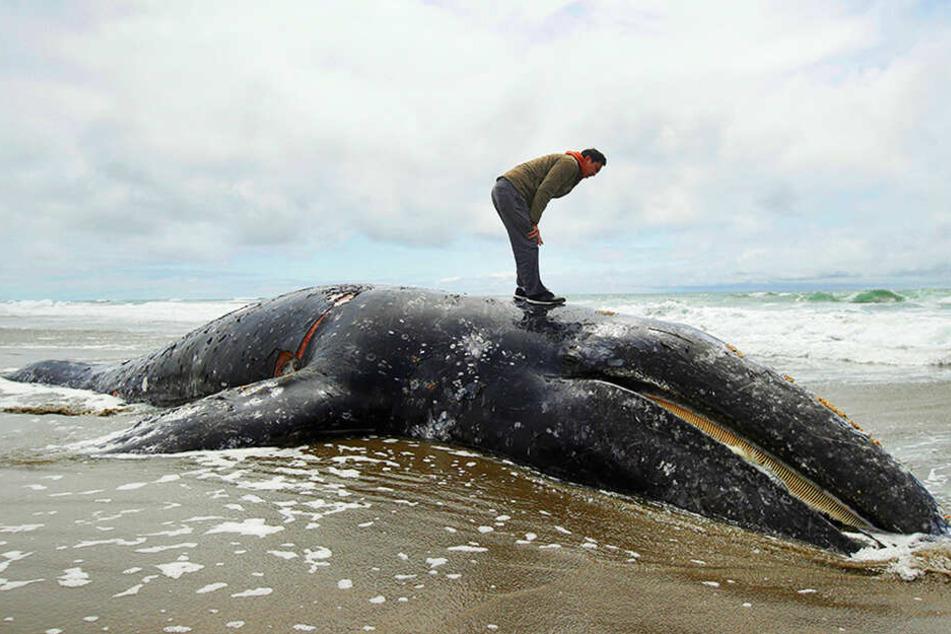 Massensterben an Küste: Rätsel um rund 70 tote Wale