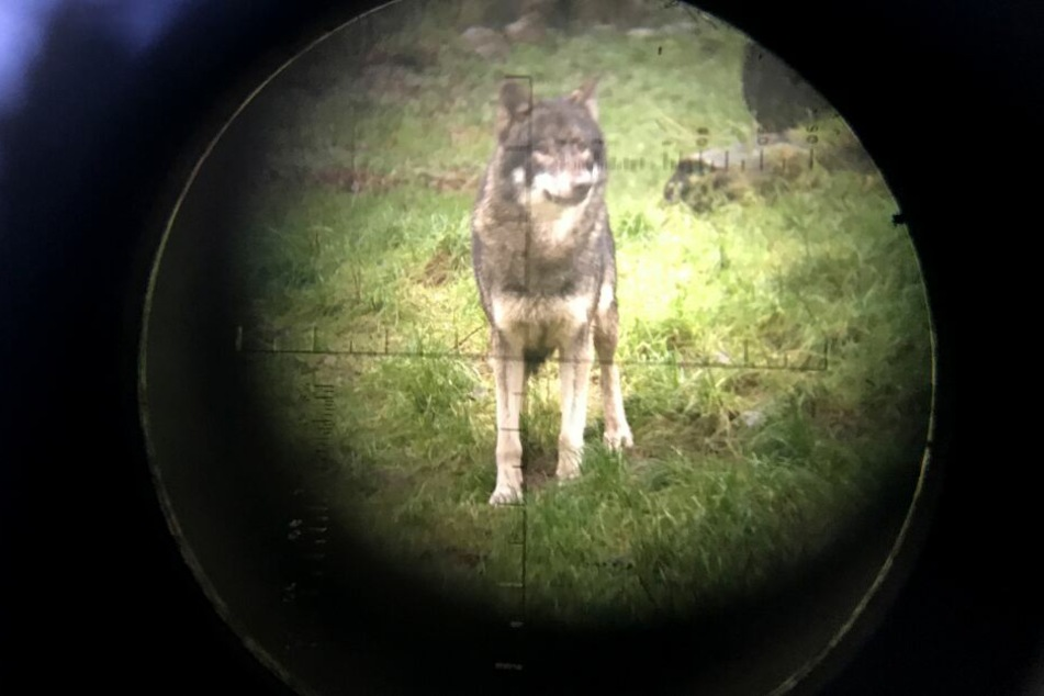 Wer doch auf einen Wolf trifft, sollte lieber Abstand halten.
