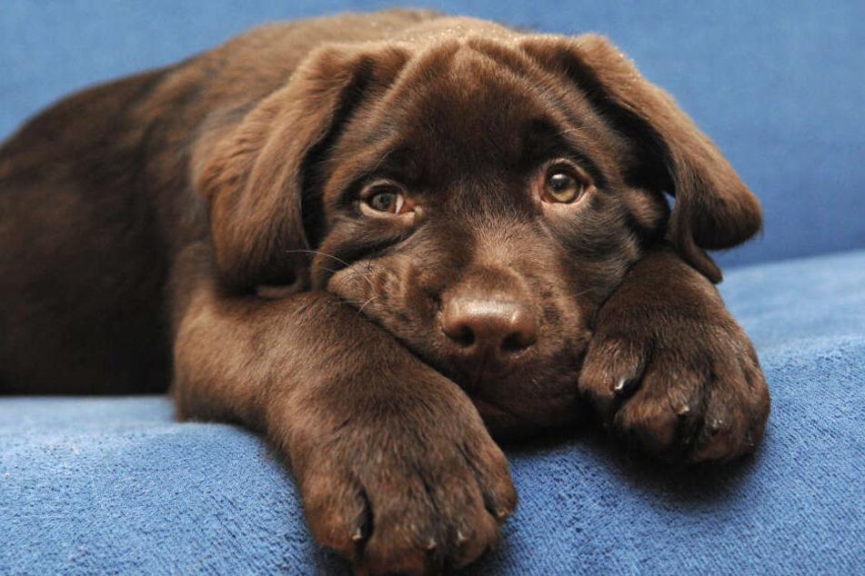 Labrador Otto konnte nicht widerstehen und verputzte alle Schoko-Muffins. (Symbolbild)