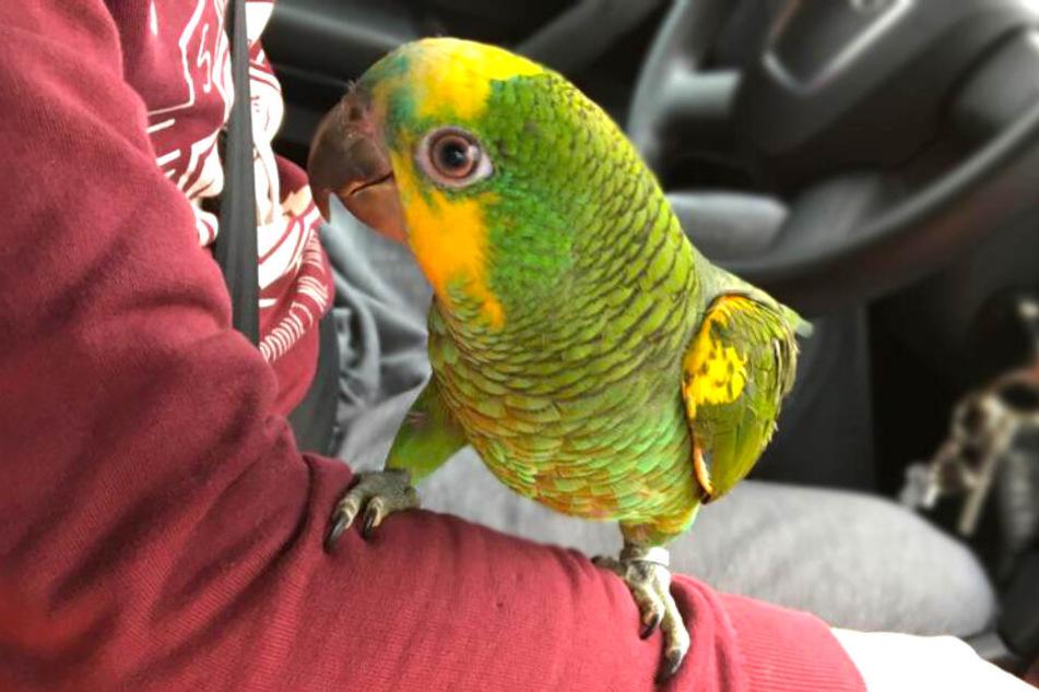 """So niedlich schaut Papagei """"Prinz"""", wenn er bei seinem Besitzer im Auto mitfahren darf."""
