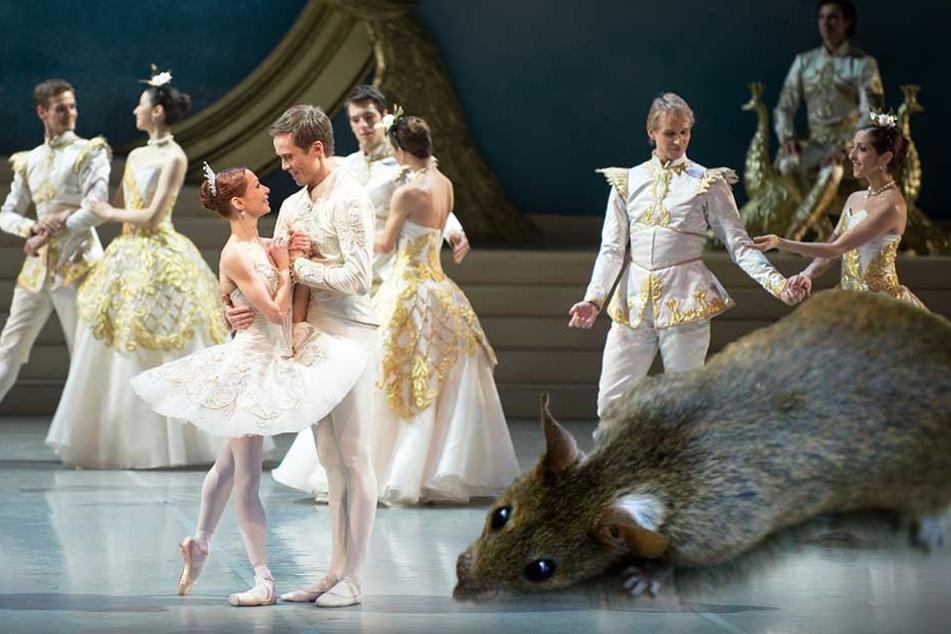 Einer Ratte hat für den Abbruch einer Ballett-Vorstellung in Australien gesorgt (Montage, Symbolbilder).