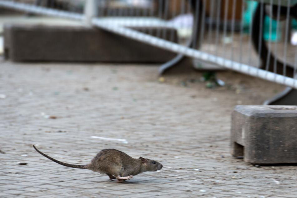 Bei Hinweisen auf Rattenbefall solltet Ihr euch an die Stadt Köln wenden (Symbolbild).