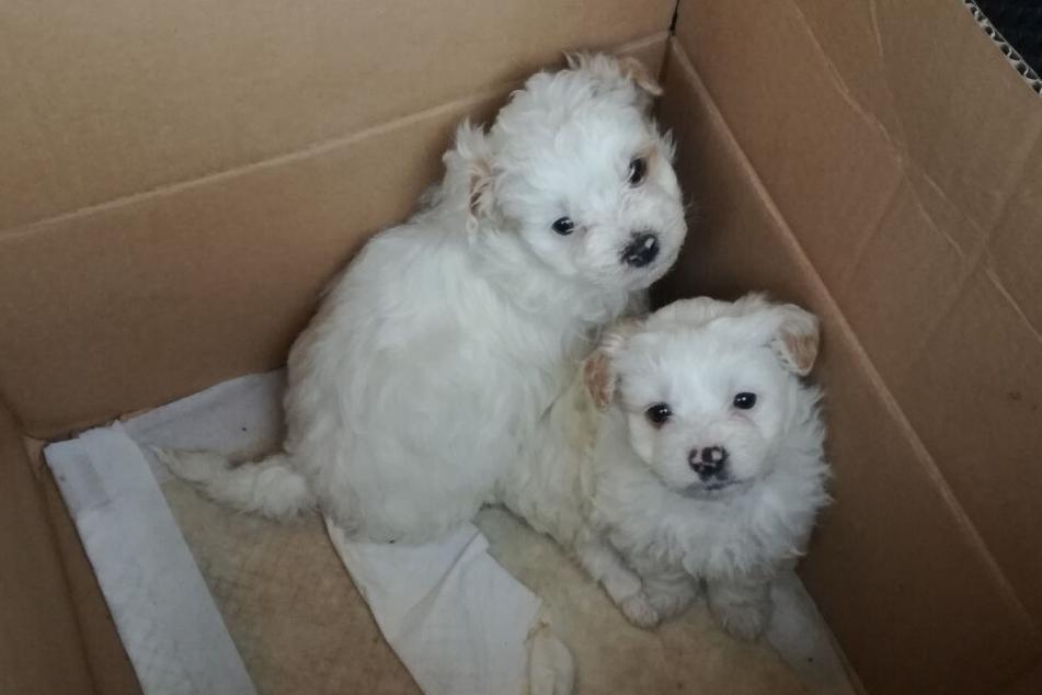 Von Rumänien nach Spanien: Zollbeamte retten Hundewelpen!