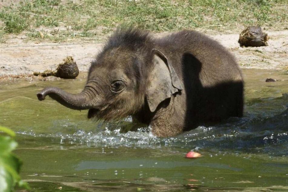 Platsch, platsch, wenn der Mini-Elefant baden geht, wird nicht nur die eigene Runzelhaut nass.