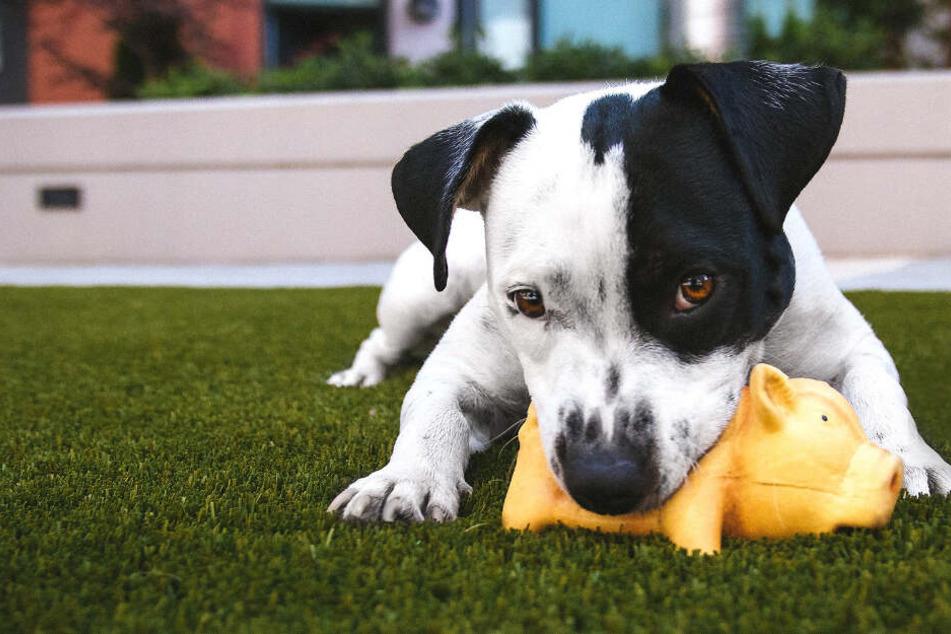 Giftiges Hundespielzeug: Vorsicht vor diesen Teilen!