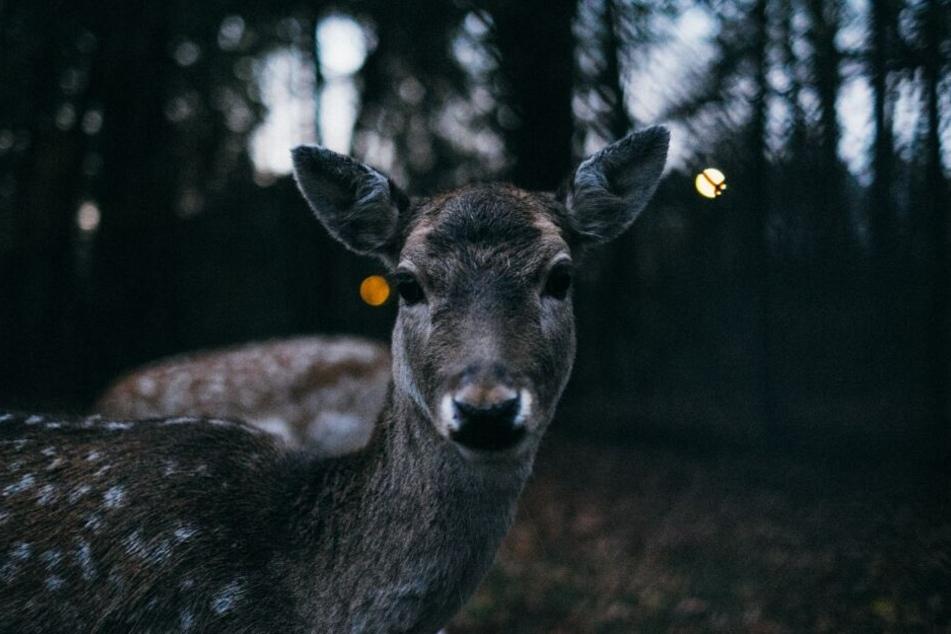 In der Dämmerung trifft man in Waldnähe häufig auf Wildtiere.