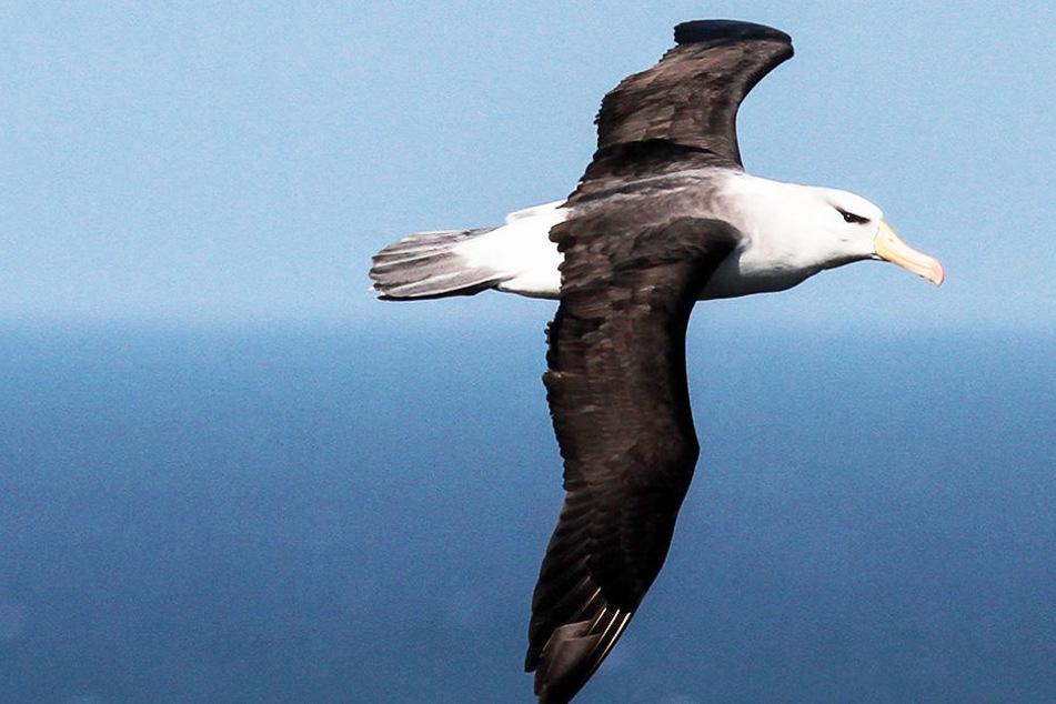 Über zwei Meter Spannweite! Riesenvogel an der Nordsee aufgetaucht
