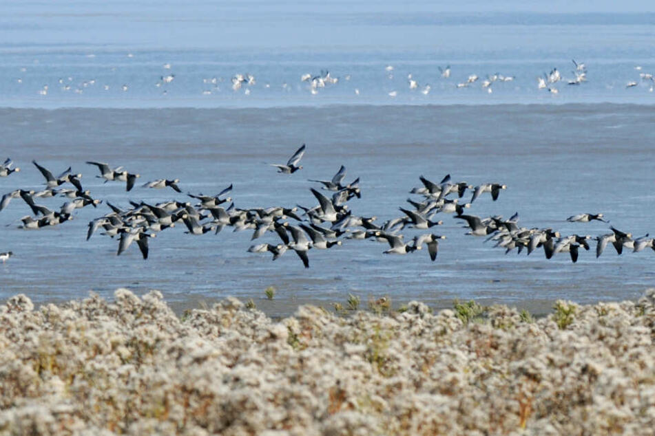 Natur-Schauspiel: Millionen Zugvögel landen im Wattenmeer