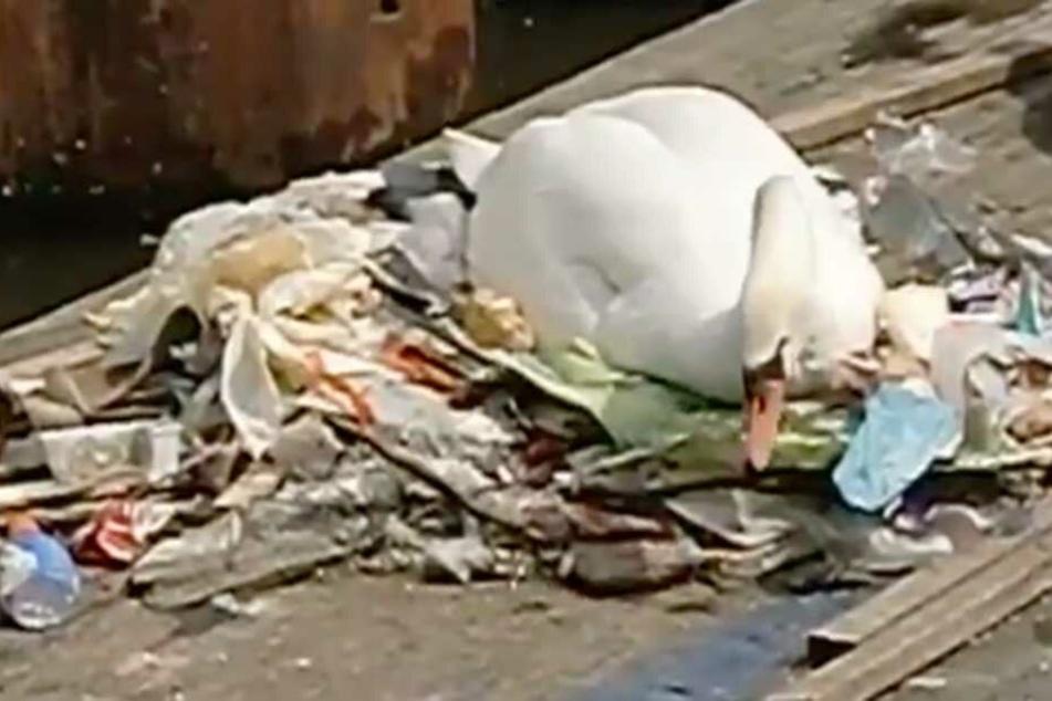 Der Schwan nistet auf einem Müllberg.