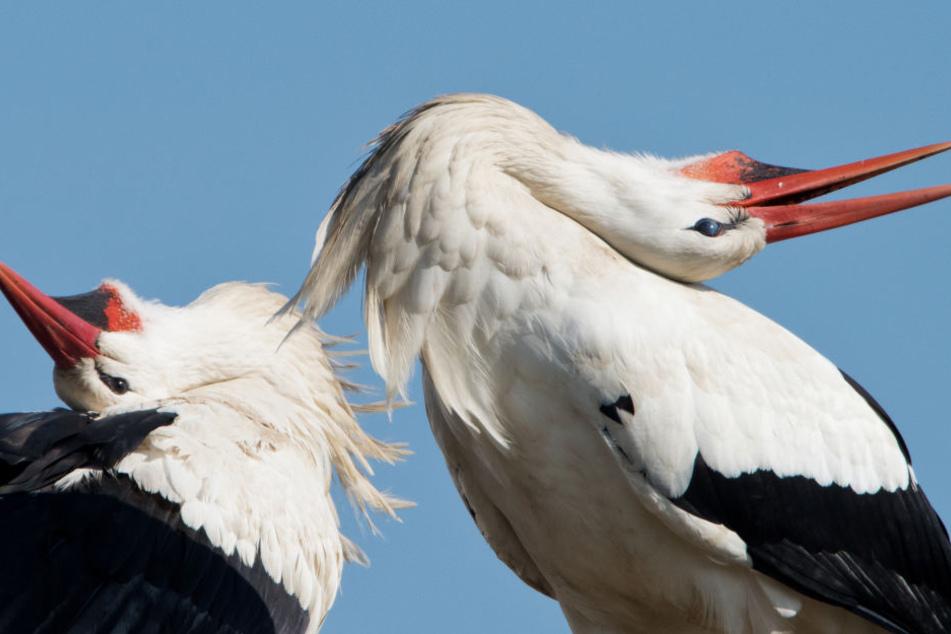 Bist Mitte März sollten alle Störche die Nester besetzt haben. (Symbolbild)