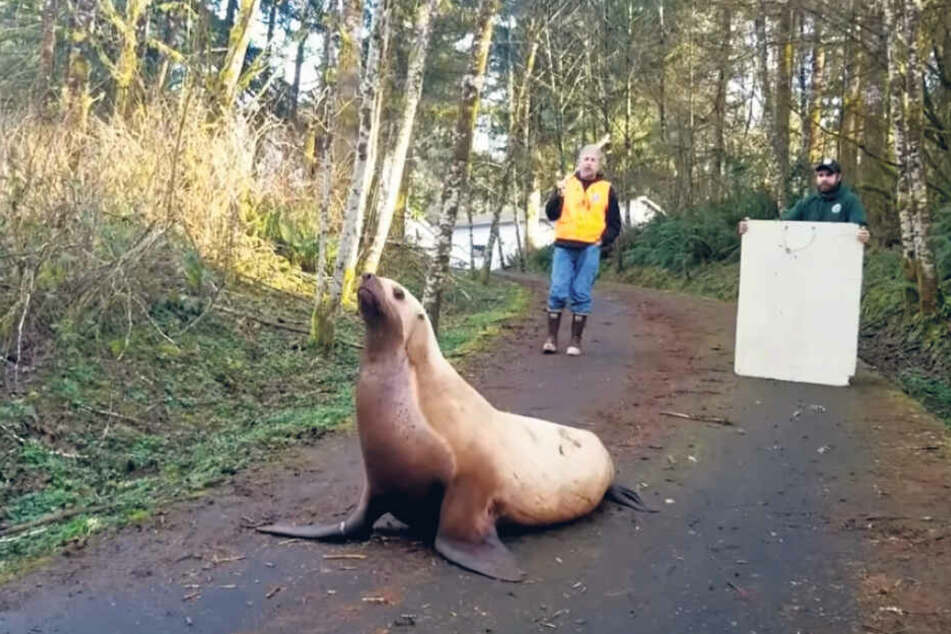 Dieser Seelöwe hatte sich offenbar ziemlich doll verlaufen.