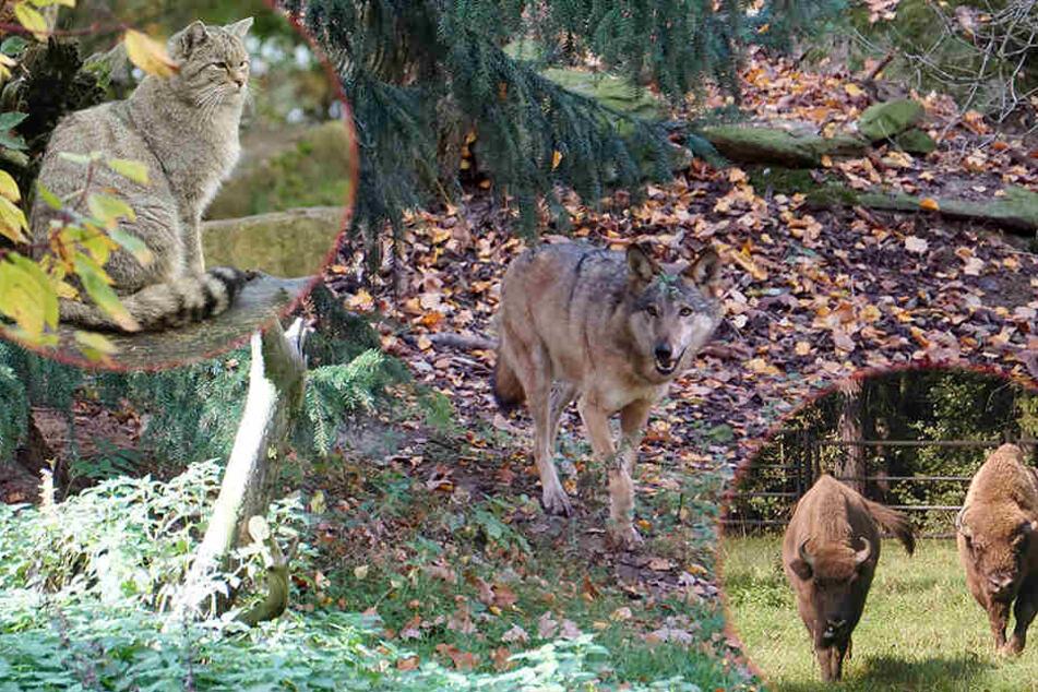 wolf-wisent-co-wir-sind-die-neuen-im-wildgatter