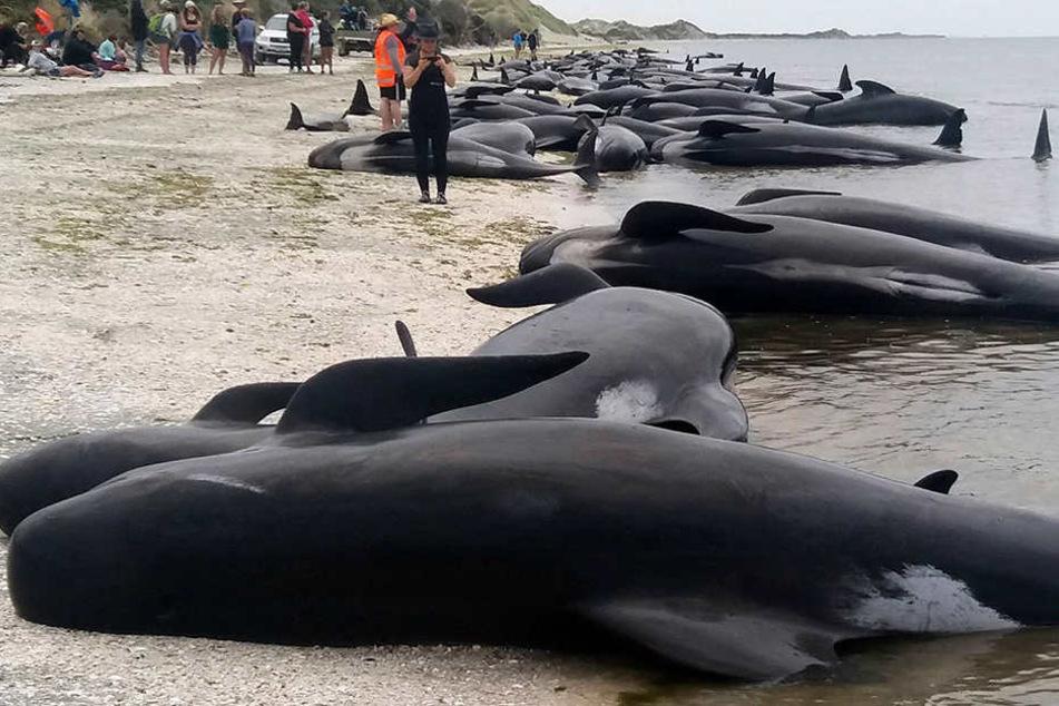 In Neuseeland sind am Donnerstag über 600 Wale gestrandet. Eine riesige Rettungsaktion wurde gestartet.