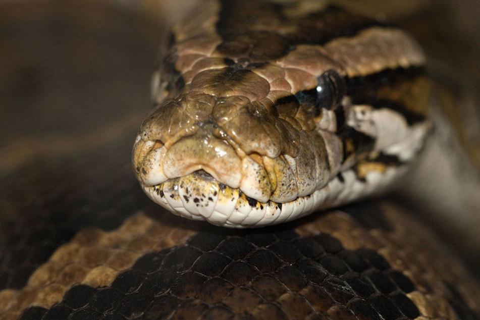 Die 1,60 Meter lange Schlange verbiss sich im Gesicht der Besitzerin. (Symbolbild)