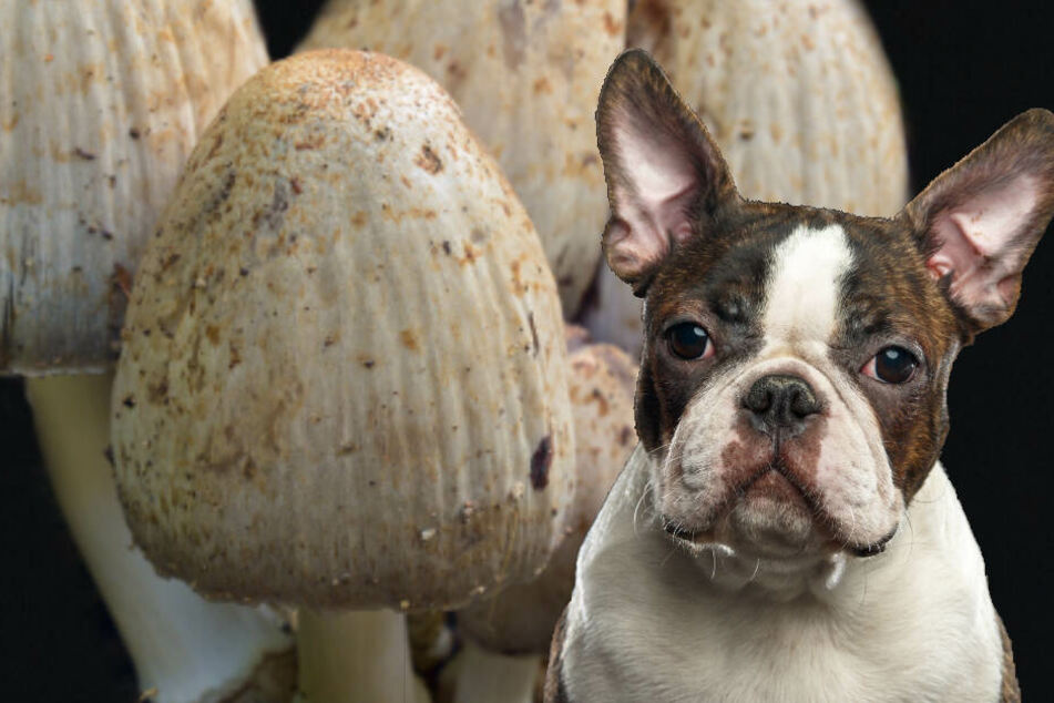Während eines Spaziergangs aß ein Boston Terrier Pilze am Wegesrand. Wenig später starb er qualvoll. (Symbolbild)