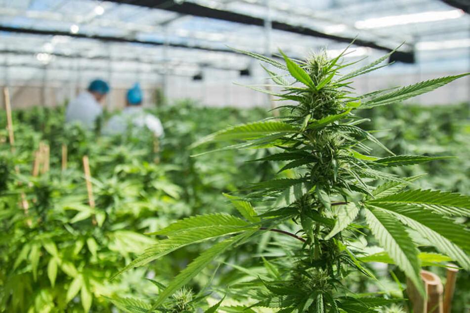 """""""maricann"""" baut Cannabis ausschließlich für medizinische Zwecke an. Der Bedarf an der verschreibungspflichtigen Droge wächst."""
