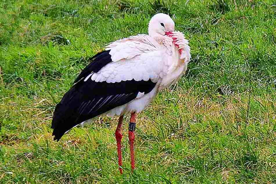 Ein toter Storch sorgte kurz vorm Wochenende in OWL für Aufsehen. Jetzt wurde bestätigt, dass er tatsächlich am H5N8-Erreger gestorben ist.