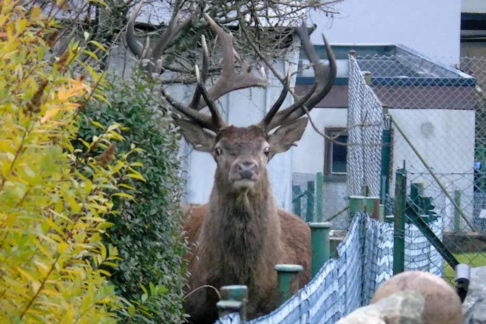 Auch vor den Gärten der Anwohner haben die Hirsche keinerlei Respekt.