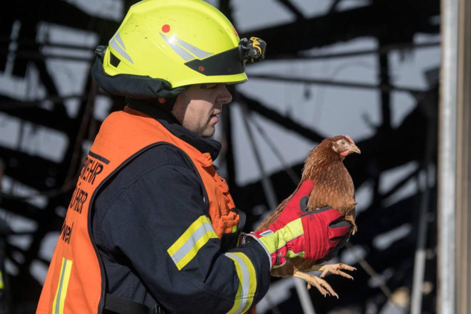 Ein Feuermann rettet ein Huhn.