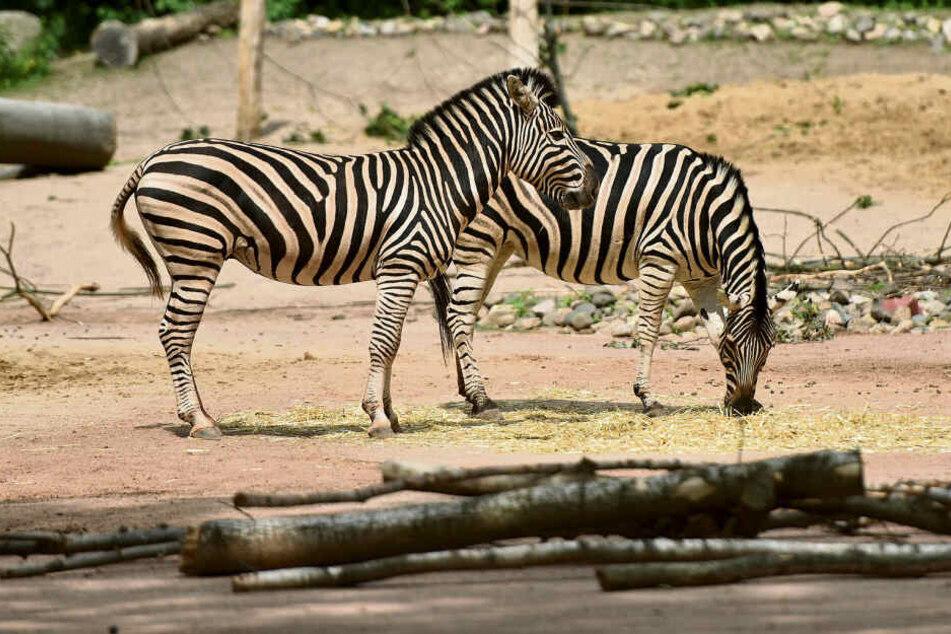 Sie ist eines von insgesamt vier Zebras im Gehege: Stute Zyta (11, vorn) präsentiert stolz ihr gestreiftes Fell.