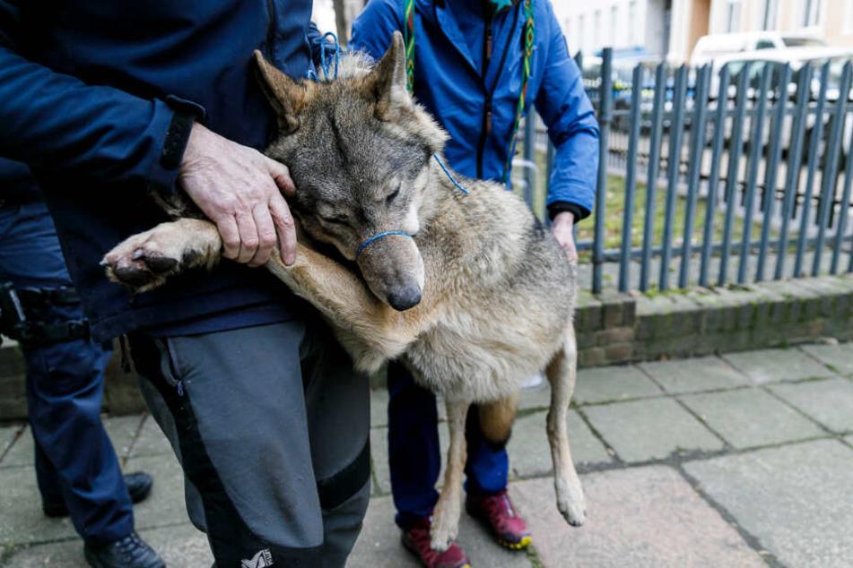 Dieser Jungwolf hielt die Polizei in Görlitz Montagmittag auf Trab.