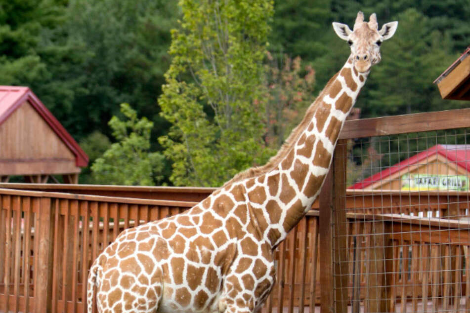 April the Giraffe, who delighted millions with her live-streamed birth, passes away