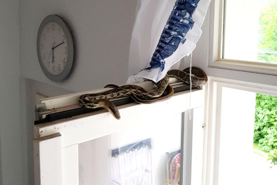 Zeil Voor Balkon : Gänsehaut moment für mieterin exotische schlange liegt auf balkon