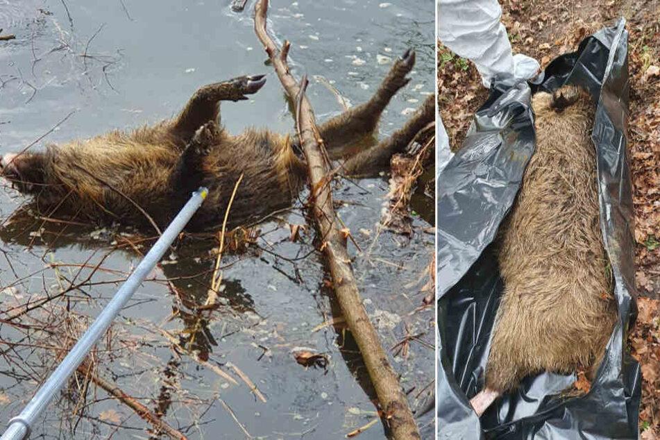 Schutz vor Schweinepest: Brandenburg beginnt mit Zaunbau!