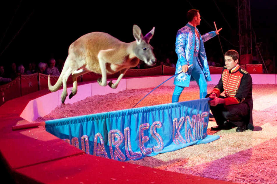 Kängurus gehören ebenfalls zu den Wildtieren, die der Zirkus mitbringt.