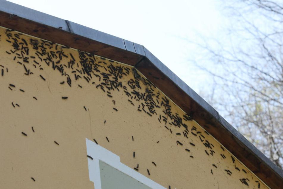 In Thüringen sieht es anders aus: Schwammspinner Raupen haben die Fassade eines Hauses im Ortsteil Liebschwizt befallen. Eine regelrechte Invasion der Raupen hat sich über den Ortsteil hergemacht. Seit mehr als zwei Wochen kämpfen die Anwohner gegen den B