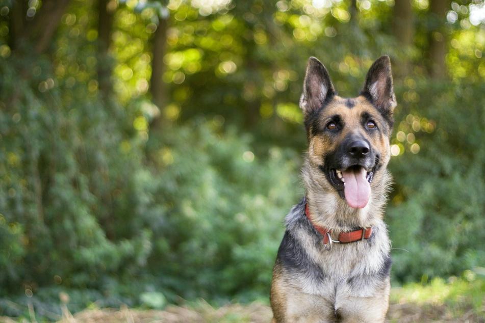 Der Schäferhund bietet Jungfrauen die notwendige Sicherheit.