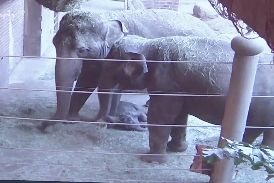 Der kleine Kiran ist an Don Chungs Vorderbein heruntergerutscht und schläft, während die Tante und Mama Rani (r.) am Heunetz fressen.