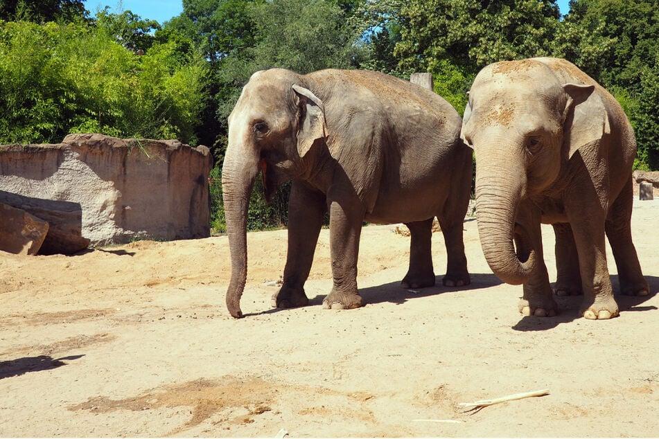 Hoa und Trinh nicht mehr im Leipziger Zoo: Wie geht es den Elefanten jetzt?