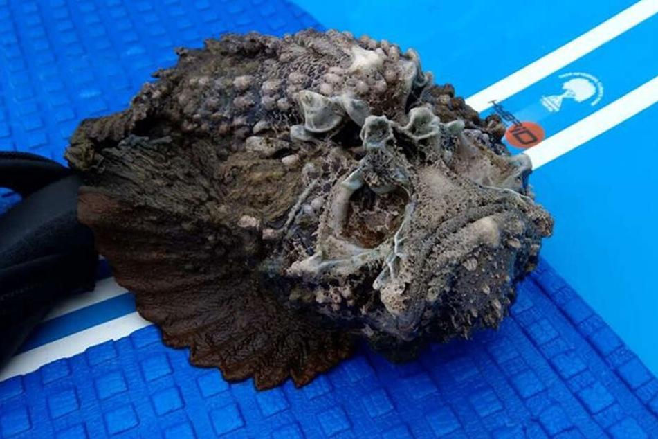 Dieser Steinfisch wurde in Australien entdeckt.