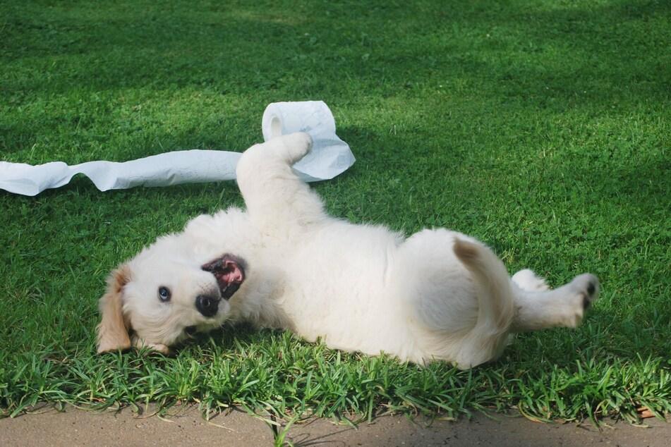 Damit der kleine Frechdachs nicht zum großen Schelm wird, sollte man schon im Welpenalter mit der Erziehung beginnen – egal, ob schwer erziehbarer Hund oder Anfängerrasse.