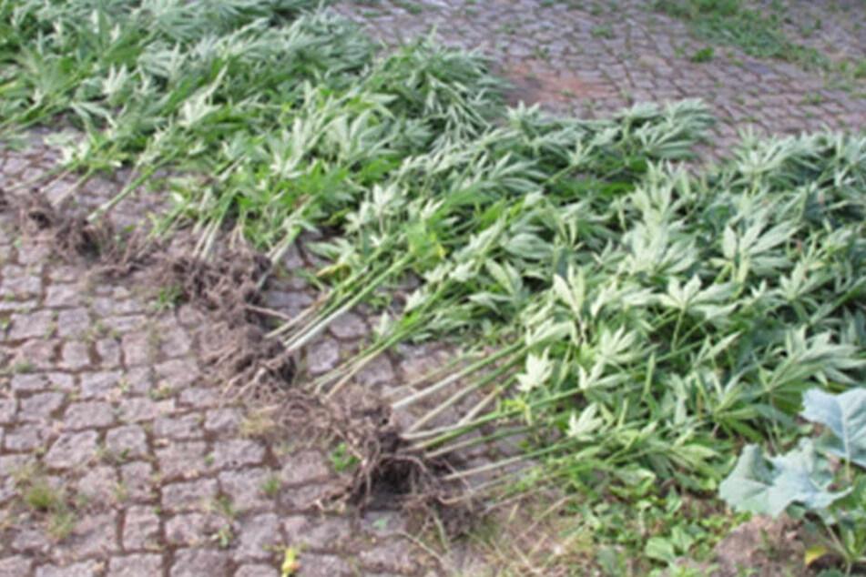 Über 50 Cannabispflanzen stellte die Polizei sicher.