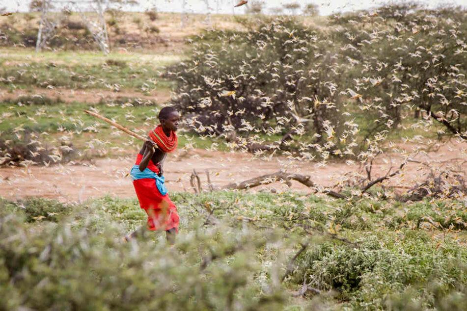 Ein Samburu-Junge kämpft in Kenia mit einem Holzstab gegen einen Schwarm Wüstenheuschrecken an. Monatelanger schwerer Regen hat in Ostafrika zur schlimmsten Heuschreckenplage seit Jahrzehnten in der Region geführt.