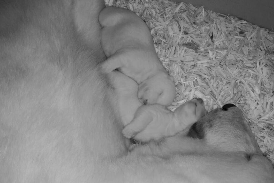Zwei Eisbären-Babys liegen mit ihrer Mutter Valeska in der Wurfhöhle.