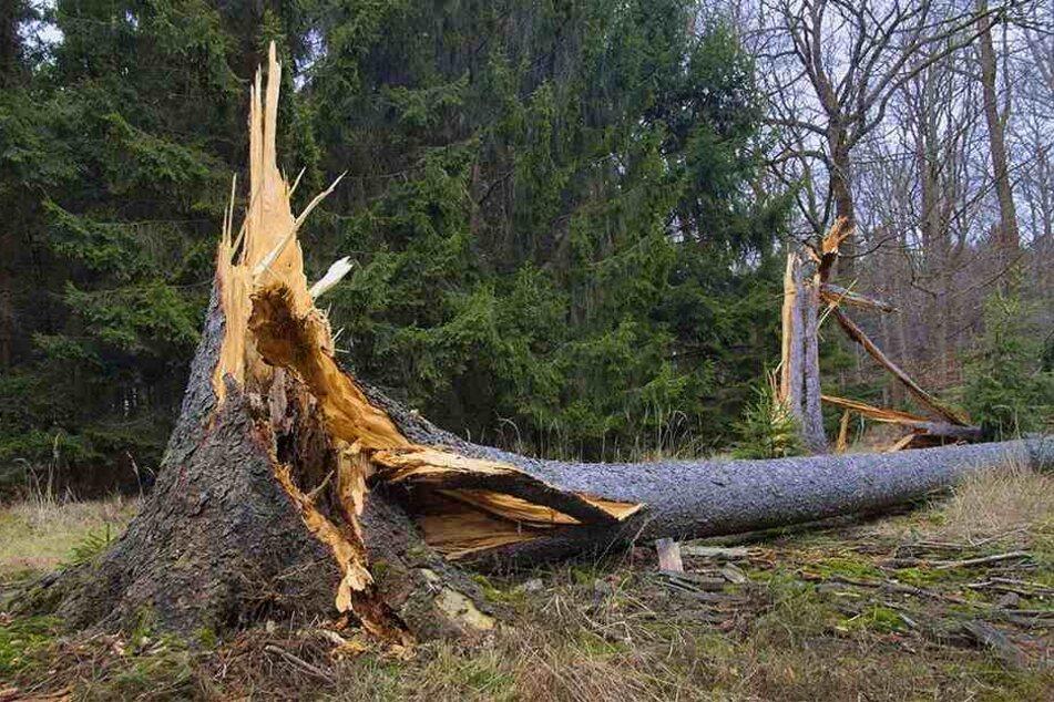 Und wieder knickte ein Sturmtief starke Fichten wie die Streichhölzer um - eine halbe Million Kubikmeter Holz allein in Sachsen.