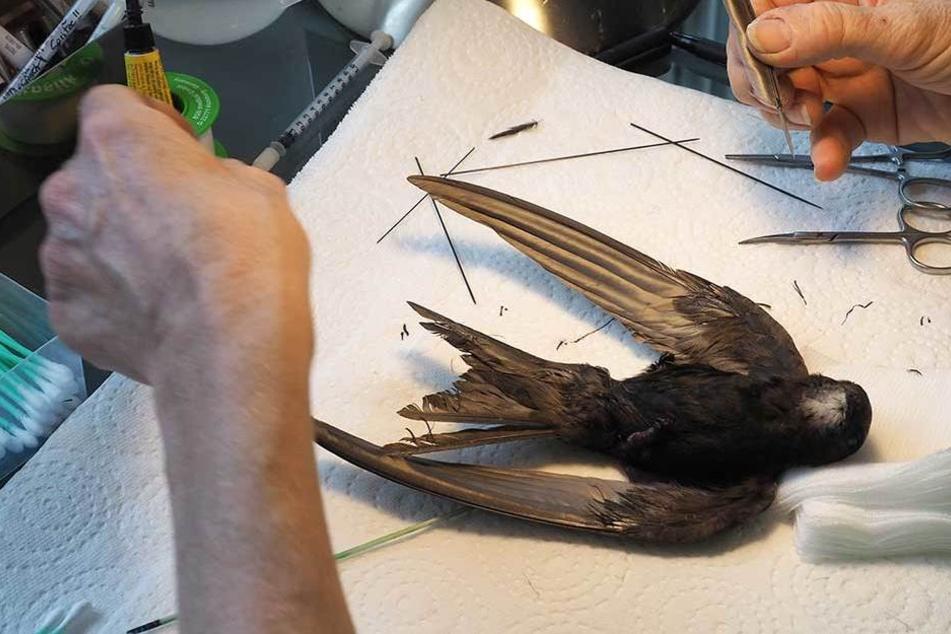 Mauersegler Malte bekam bei einer OP neue Federn verpasst - auch die verklebte sich der arme Kerl wieder..