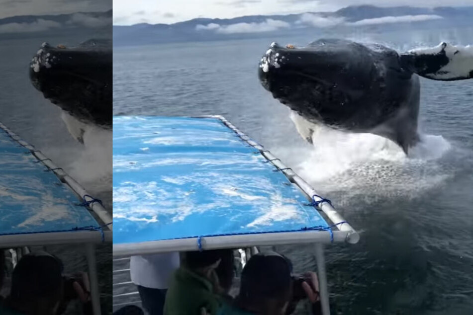 Das war knapp! Buckelwal setzt zum Sprung auf Touristenboot an