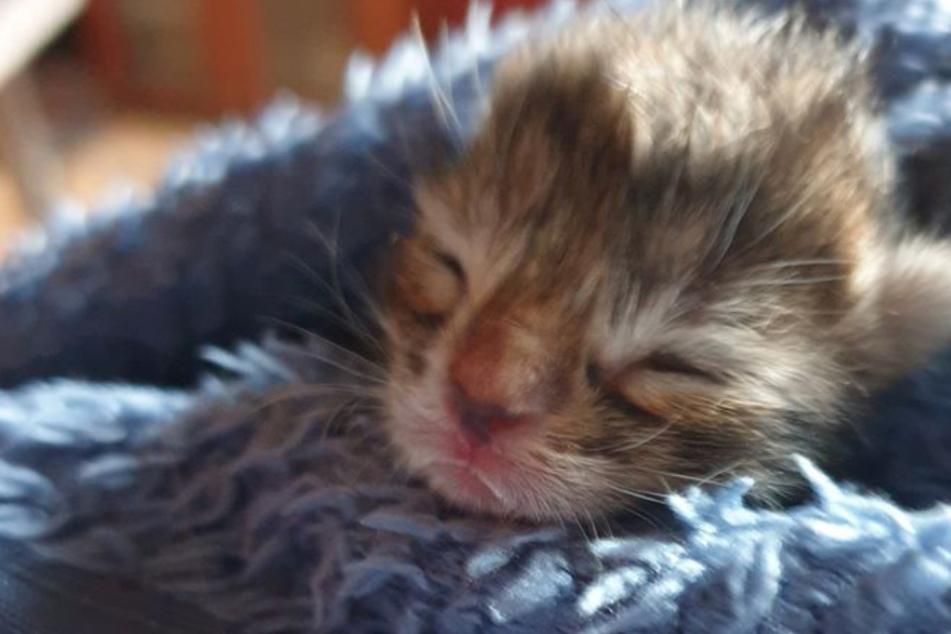 Herzzerreißend: Dreibeiniges Baby-Kätzchen ist noch keine 24 Stunden alt und muss schon operiert werden