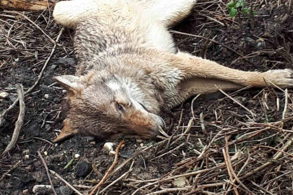 Das Foto zeigt die in Wiesbaden gefundene tote Wölfin.