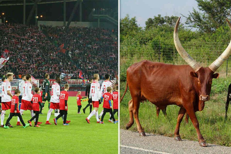 """Ein echter """"Red Bull"""" könnte bald ins Leipziger Stadion einziehen. Der Zoo schaffte jetzt ein afrikanisches Watussi-Rind an, das zum neuen RB-Maskottchen ausgebildet werden soll."""