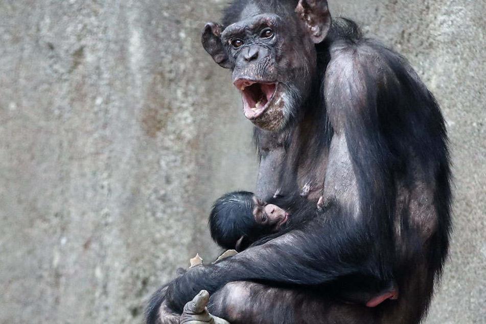 Wie niedlich! Wieder Schimpansen-Nachwuchs im Leipziger Zoo