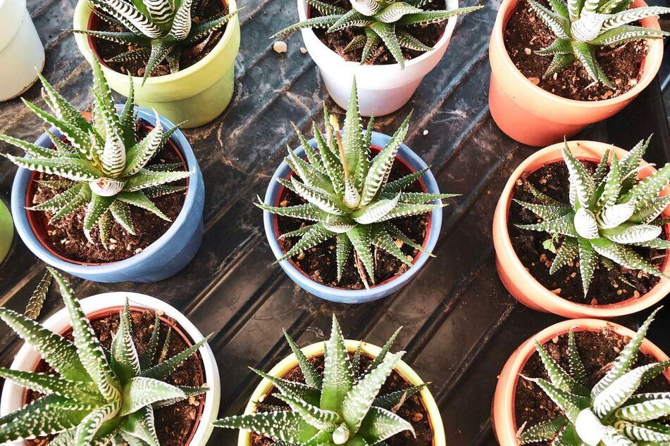 Die Aloe-Pflanze sieht nicht nur hübsch aus, sondern spendet jede Menge Sauerstoff.