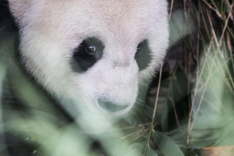 Panda-Weibchen Meng-Meng schaut die Besucher getrennt durch eine Scheibe an.