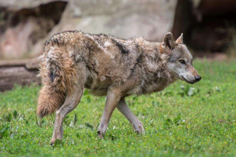 Der Wolf riss Weiden im Odenwald eine Ziege und mehrere Schafe. (Symbolbild)