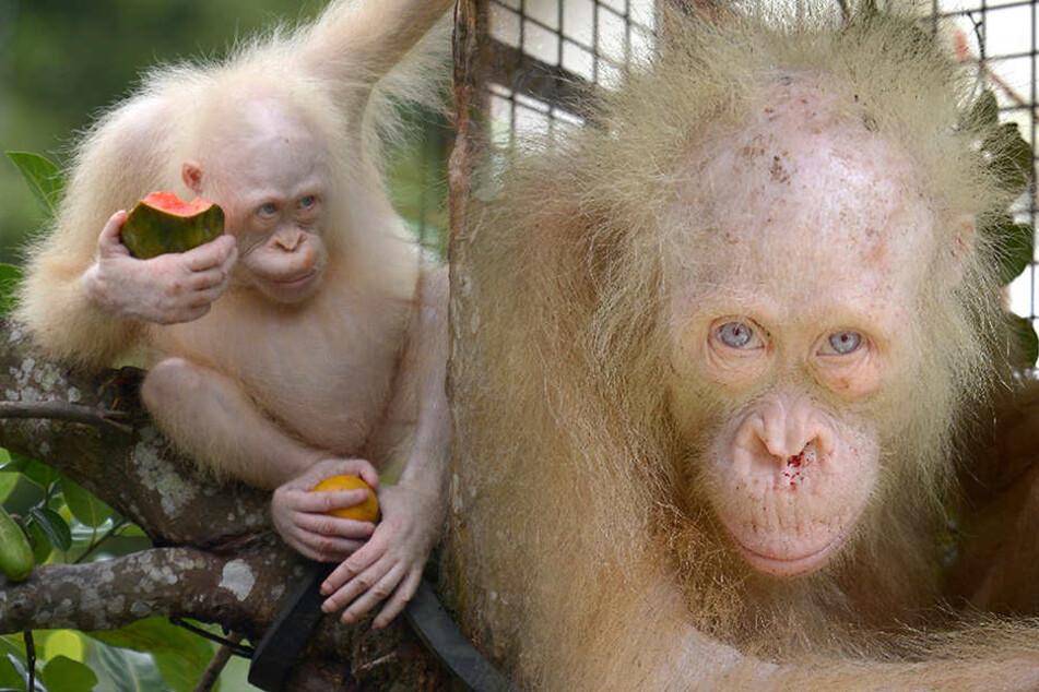 Weltweit einziger weißer Orang-Utan wartet immer noch auf Freiheit